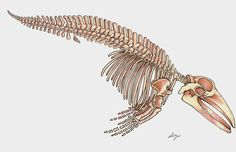 gallusdrawseverything:  Fin Whale skeleton done from the Mount at the Denver Museum of Nature and Science. I had some trouble with the ribs and the whale's got a funny spine, but I really like how it turned out. Colors done with Prismacolor Markers.