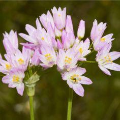 Česnek růžový - Allium roseum - holandské cibuloviny - 3 ks Allium, Garlic, Plants, Flowers, Plant, Planets