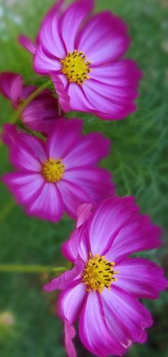 I'm not sure, but I think these may be Pink Cosmos. Whatever they are, this is a pretty picture.