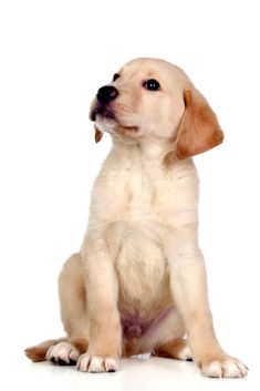 Beautiful labrador retriever puppy isolated on white background Dog Breeds List, Best Dog Breeds, Pet Dogs, Dogs And Puppies, Pets, Most Cutest Dog, Baby Animals, Cute Animals, Yellow Lab Puppies