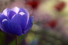 Anemone Purple Flower HD Wallpaper