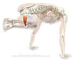 Piriformis -Parsva bakasana adducts and flexes the hip joint, thus stretching the muscle (which an extensor and abductor when the hip is flexing)