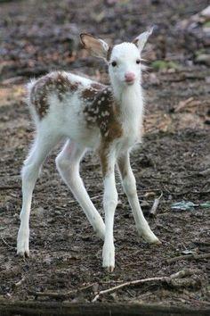 Albino baby deer