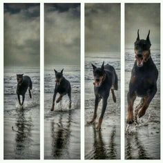 Doberman #DobermanPinscher