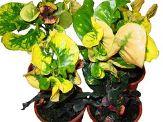 Sonata Series  'BANGKOK GOLD' Slow growing with twisted leaves.