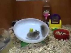 Two Crazy Hamsters Spin in a Wheel--wait for it, wait for it... (right about 30 seconds in) LOL wow