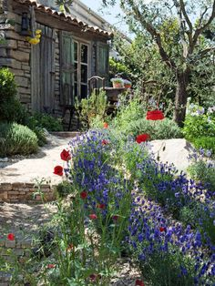 Sun loving lavenders and poppies spill over a gravel walkway in a random fashion mirroring the laid back, sun drenched Mediterranean styled gardens of that region