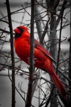 https://flic.kr/p/b9q4Kn   Mr. Cardinal   Amongst a B&W background.