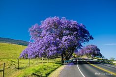 "Dazzling Blue Jacaranda trees in full dress line the hillside at higher elevation on the road to Haleakala, Maui, putting on a dazzling display of color. Along with their amazing flowers, the Jacaranda has a sweet smell that softly floats through the air during bloom. Jacaranda most often bloom between April and May, just in time for May Day in Hawaii, known as ""Lei Day."" #hawaii #maui #jacaranda"