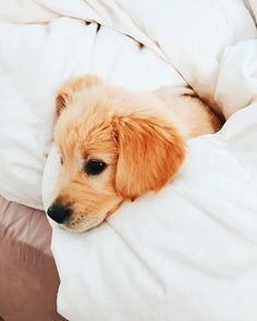 This adorable puppy golden retriever will warm your heart. Dogs are awesome friends. Cute Puppies, Cute Dogs, Dogs And Puppies, Doggies, Cute Baby Animals, Animals And Pets, Retriever Puppy, Cute Creatures, Service Dogs
