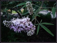Vitex helps to relieve symptoms of PMS and menopause
