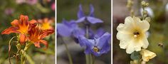 Essbare Blüten Wissenswertes Astern (Aster)Begonie (Begonia semperflorens)Dahlie (Dahlia)Duftgeranie (Pelargonium)Duftveilchen(Viola odorata)Edelkastanie (Castanea sativa)Flieder (Syringa vulgaris)Gänseblümchen (Bellis perennis)Geißblatt, Jelängerjelieber (Lonicera caprifolium)Glockenblume (Campanula)Hibiskus(Hibiscus sabdariffa)Holunder(Sambucus nigra)Indianernessel, Goldmelisse (Monarda didyma)Jasmin(Jasminum officinale)Kamille (Chamaemelum nobile)Kapuzinerkresse (Tropaeolum…
