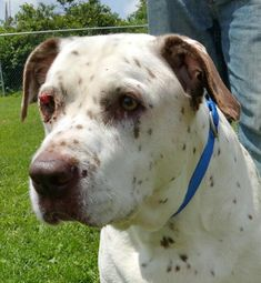 ***SUPER SUPER URGENT!!!*** - PLEASE SAVE THELMA!! - EU DATE: 8/7/2015 -- Thelma Breed:Dalmatian (mix breed) Age: Adult Gender: Female Size: Large Special needs: altered, Special needs: hasShots, Shelter Information: Columbiana County Dog Pound 8455 County Home Rd  Lisbon, OH Shelter dog ID: 0208 Contacts: Phone: 330-424-6663 Name: Dawn email: dcroft@ccclerk.org  Read more at http://www.dogsindanger.com/dog/1436382335115#TTGhlKeRPPOxDPRs.99