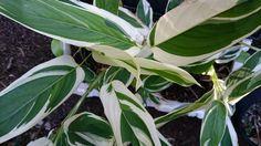 Arrowroot (Maranta arundinacea 'Variegata')
