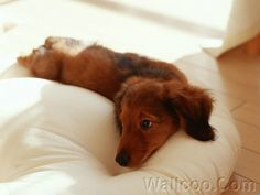 awwww #dachshund