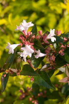 34 best fragrant shrubs images on pinterest flowering shrubs ruby anniversary abelia monrovia ruby anniversary monrovia plants colorful garden trees mightylinksfo