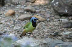 Participants in the  2012 Rio Grande Valley Birding Festival ABA/Leica Young Birder Track saw this Green Jay at Bentsen State Park. (Photo credit: Jennie Duberstein) #rgvbf #youngbirders
