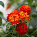 Lantana (orange/tangerine) a fave of my grandmother's and hopefully mine will recover for another season.