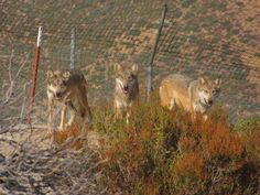 Mexican gray wolves (lobos) photo credit: California Wolf Center.