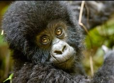 Top 10 honeymoons for adventurous couples,Gorillas in Rwanda & Masai Mara, Kenya Could you combine two of Africa's iconic wildlife experiences in one trip? Why not, it's your honeymoon after all. Come face to face with mountain gorillas in Rwanda's Virunga Volcanoes National Park then search for lion, leopard and cheetah in Kenya's Masai Mara.