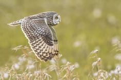 Short-eared Owl in flight by ErikVeldkamp via http://ift.tt/2b0XBnp