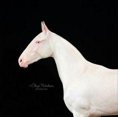 Akhal Teke mare ZAIRA (Piastr - Zamena) cremello, born in line El. Most Beautiful Horses, All The Pretty Horses, Animals Beautiful, Nature Animals, Animals And Pets, Planeta Animal, Akhal Teke Horses, Horse Ears, Horse Photos