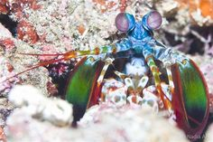 Mantis shrimp are colorful and surprisingly strong. This one was photographed off Alor, Indonesia.