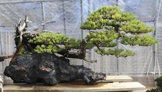 Mashaiko Kimura bonsai #bonsai
