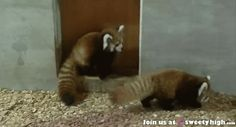 Exhibit D: Red Pandas have superpowers too. Attack hugs! | Animals March Madness, Round One: Chameleons Vs. Red Pandas