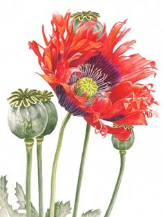 "Anna Mason Art | Oriental Poppy Botanical print from an original watercolor £60 9"" x 12"" Shipped worldwide http://annamasonart.com"