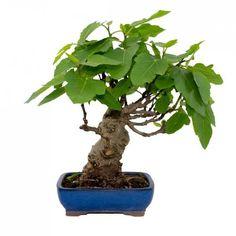Ficus carica 12 años HIGUERA Flower Pots, Figs, Shrubs, Vegetable Gardening, Growing Up, Naturaleza, Plants, Flower Vases, Plant Pots