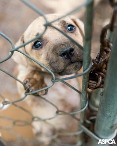 At the request of the Huntersville Police Department, the ASPCA is assisting with the rescue and removal of 23 pit bulls allegedly housed and fought at a property in Huntersville, North Carolina. The Animal Care & Control Division of the Charlotte-Mecklenburg Police Department is also working to support local authorities with the investigation. Learn more here: https://www.aspca.org/blog/breaking-news-aspca-assists-rescue-23-dogs-north-carolina-dog-fighting-investigation