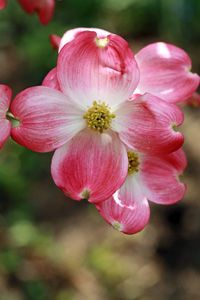 Add to yard this spring!  Cornus florida rubra 'Indian Princess' Pink Dogwood - Dogwood Trees - Willis Orchard Company