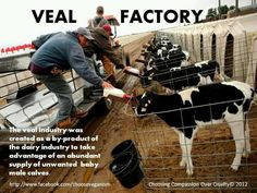"""""""Veal"""" is a baby calf who was stolen at birth from his grieving mother. It is common knowledge that the calves desperately try to suckle the hands that shove them onto the kill floor. They have never known their dear enslaved morhers."""