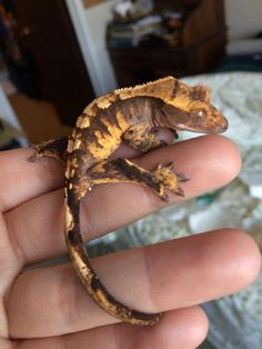 A striking Crested Gecko belonging to The Adventure Gecko.