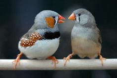 zebra finch - the males have the orange on their cheeks while the females dont. Another way to tell is that the females are lighter in color as well.