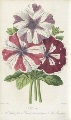 Petunias.  Illustration taken from 'L'Horticulteur Français' by François Hérincq.  Published 1865.