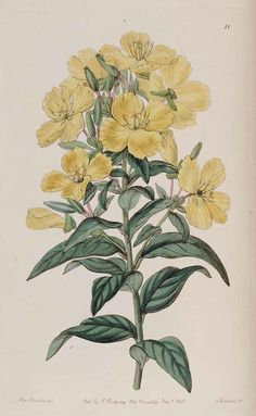 Sundrops, Narrowleaf Evening Primrose - Oenothera fruticosa - 1841