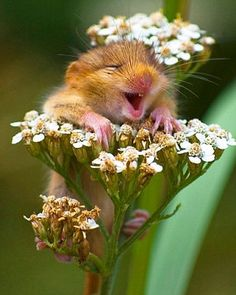 What's so funny? Grinning from ear to ear, this tiny dormouse appears to have been tickled by something as it clambered up this yarrow flower