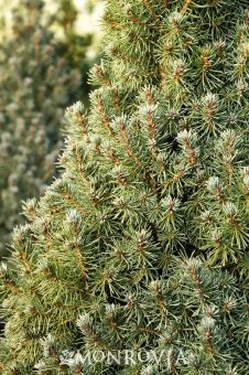 Monrovia's Alberta Blue Dwarf Alberta Spruce details and information. Learn more about Monrovia plants and best practices for best possible plant performance.