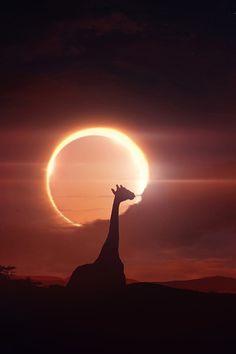 magnifique image giraffeeeee =]]