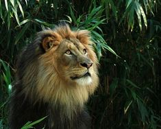 Male lions defend the pride's territory while females do most of the hunting. Despite this, the males eat first.