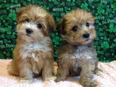 Yorkiepoo Puppies. This is the kind of dog I want and have been blabbing to Jon about allll the time. :)
