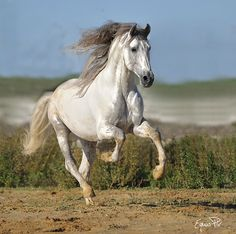 Horse Photos, Horse Pictures, Most Beautiful Animals, Beautiful Horses, Pretty Horses, Horse Love, Horse Artwork, Andalusian Horse, Horses For Sale