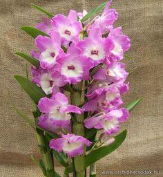 Dendrobium nobile lila-természetesen ilyet is fogok valahonnan venni