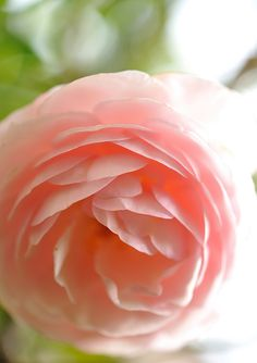 English Rose (Ausblush) 'Heritage' - I have a rose bush just like this and the flowers smell divine