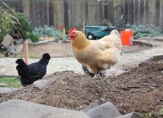 4 Secrets To Keep Free Range Chickens From Destroying Your Garden