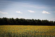 https://flic.kr/p/cVS87w | fields of Van Gogh | Arles, Provence, France