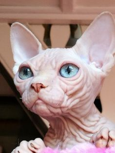 Big ears aging - Hairless Cat - Ideas of Hairless Cat - Big ears aging The post Big ears aging appeared first on Cat Gig. Puppies And Kitties, Cats And Kittens, Cute Hairless Cat, Sphinx Cat, Rare Cats, Photo Chat, Cute Animal Photos, Tier Fotos, Beautiful Cats