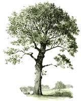 eikenboom - Google zoeken